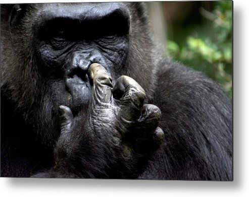 Gorilla Metal Print featuring the photograph Digging For Gold by Jason Hochman