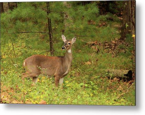 Deer Metal Print featuring the photograph Doe A Deer by Debbie Burkhalter
