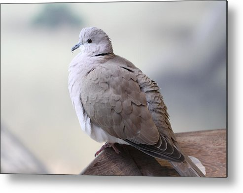 Bird Metal Print featuring the photograph Dove by Paul Slebodnick