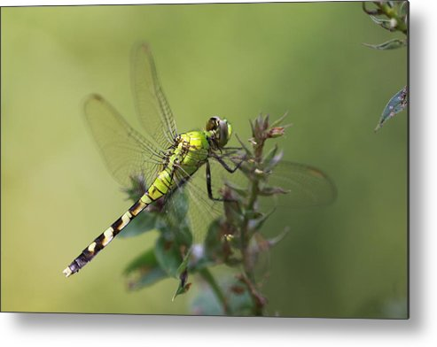 Dragonfly Metal Print featuring the photograph Dragonfly Rest by Paul Slebodnick