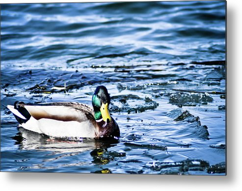 Duck Metal Print featuring the photograph Duck by Brenton Woodruff