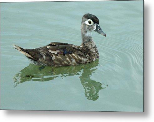 Bird Metal Print featuring the photograph Duckling by Teresa Blanton