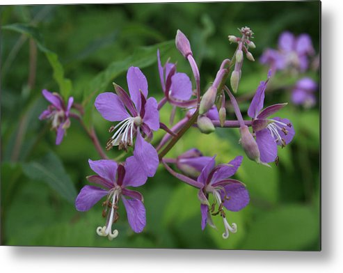 Flowers Metal Print featuring the photograph Fidos P Line by Alan Rutherford