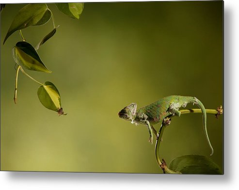 Nature Chameleon Metal Print featuring the photograph Getting Set For Dinner by E Mac MacKay