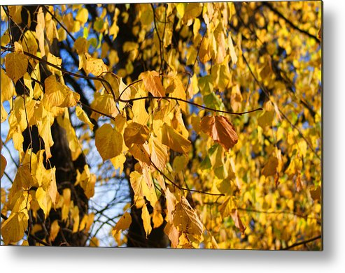 Autumn Metal Print featuring the photograph Golden Leaves by Carol Lynch