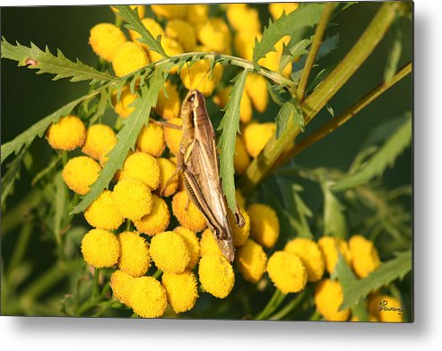 Bug Grasshopper Plants Flowers Nature Yellow Wild Life Green Weed Metal Print featuring the photograph Grasshopper by Andrea Lawrence