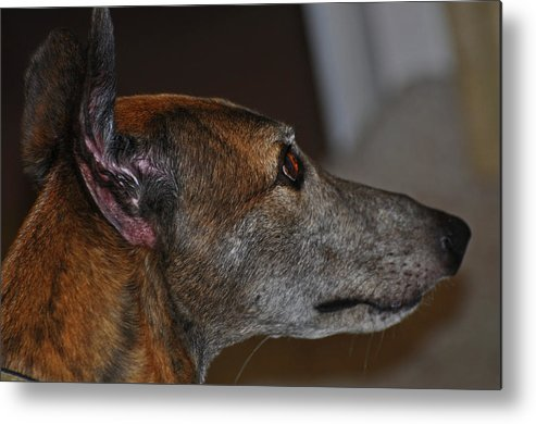Greyhound Metal Print featuring the photograph Greyhound by Peter McIntosh