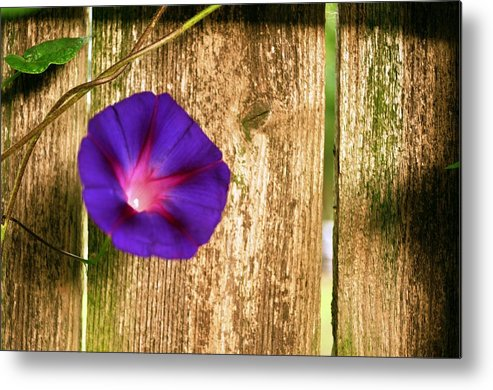Morning Glory Metal Print featuring the photograph Heaven With Morning Glory by Ruben Barbosa