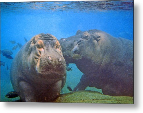 Animals Metal Print featuring the photograph Hippos In Love by Steve Karol