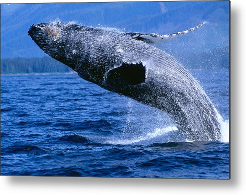 Animal Art Metal Print featuring the photograph Humpback Full Breach by John Hyde - Printscapes