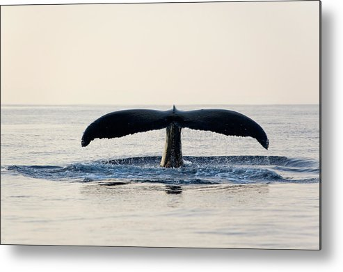 Horizontal Metal Print featuring the photograph Humpback Whale Fluke by M Sweet