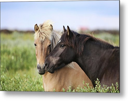 Horizontal Metal Print featuring the photograph Icelandic Horse by Gigja Einarsdottir