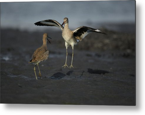 Bird Landing Metal Print featuring the photograph In For A Landing by Alex Troya
