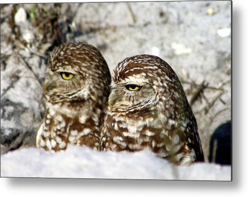 Burrowing Owls Metal Print featuring the photograph Just Act Casual And Maybe No One Will Notice Us by Virginia Fred