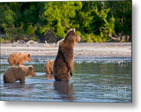 Kronotsky Reserve Metal Print featuring the photograph Kamchatka Brown Bear by Sergey Krasnoshchekov