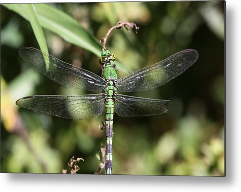 Dragonfly Metal Print featuring the photograph Leaf Hanger by Paul Slebodnick