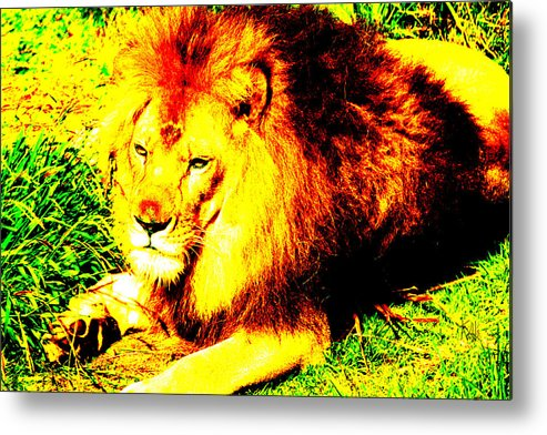 Lion Metal Print featuring the photograph Lion Of Judah by Ken Volok