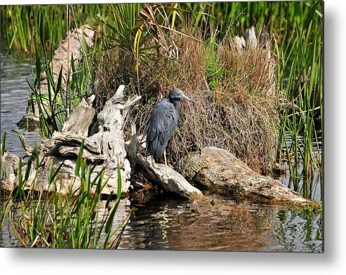 Little Blue Heron Metal Print featuring the photograph Little Blue Heron by LaDora Sims