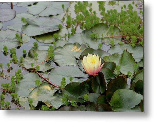 Flower Metal Print featuring the photograph Lotus Flower by Jeff Wilson