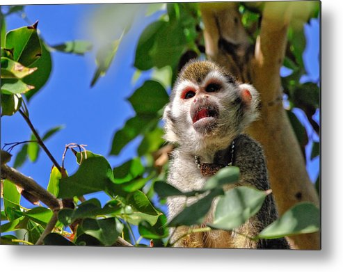 Squirrel Metal Print featuring the photograph Mad Monkey by Tom Dowd