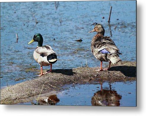 Ducks Metal Print featuring the photograph Mallard Pair-chincoteague National Wildlife Refuge by Matthew Karns