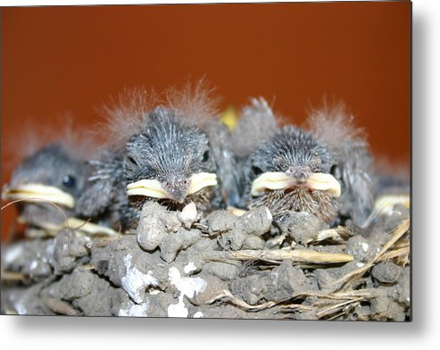 New Born Sparrow's Metal Print featuring the photograph New Fuzz by Kevin Dunham