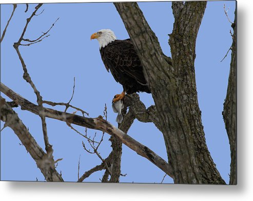 Eagle Metal Print featuring the photograph Nice Catch by Dave Clark