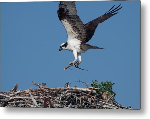 Birds Metal Print featuring the photograph Osprey Returning Home by David Bishop