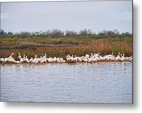 Waterfowl Metal Print featuring the photograph Pelican Gathering by Bill Perry