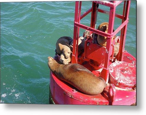 Sea Lion Metal Print featuring the photograph Photo by Samantha Kimble
