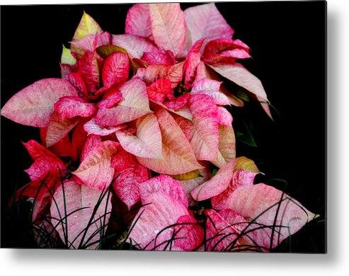 Poinsettia Metal Print featuring the photograph Poinsettia by Lyle Huisken