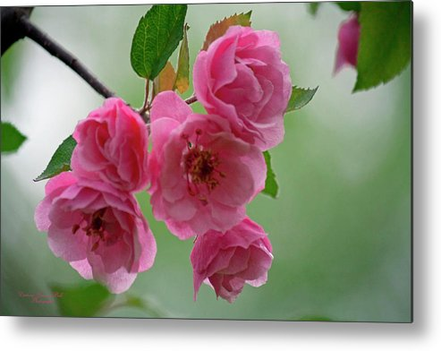Flowers Metal Print featuring the photograph Pretty In Pink by Darlene Bell