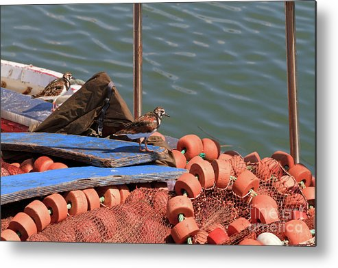 Ruddy Turnstone Metal Print featuring the photograph Ruddy Turnstones Perching On Fishing Nets by Louise Heusinkveld