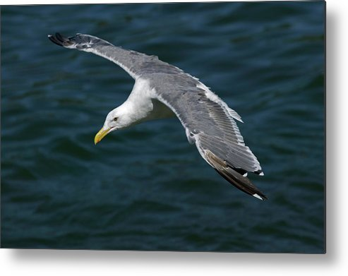 Animal Metal Print featuring the photograph Seagull In Flight by Randall Ingalls