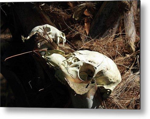 Skulls Metal Print featuring the photograph Skulls by Michael Dillard