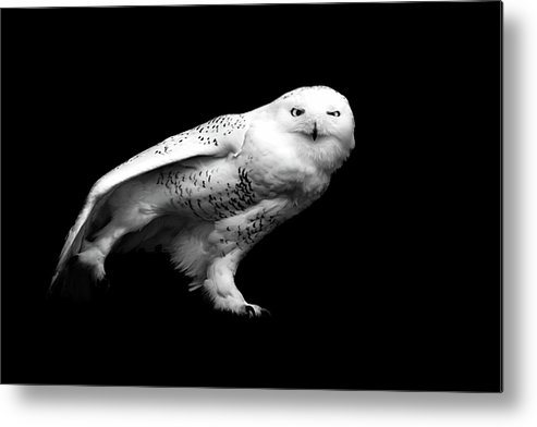 Horizontal Metal Print featuring the photograph Snowy Owl by Malcolm MacGregor