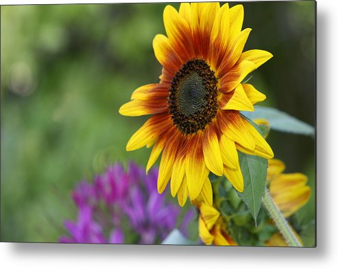 Sunflower Metal Print featuring the photograph Sunflower by JoJo Photography
