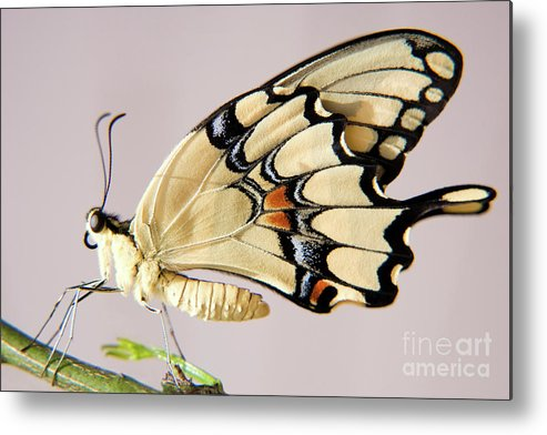 Nature Metal Print featuring the photograph Swallowtail Butterfly by Julia Hiebaum