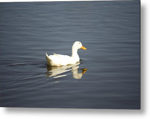 Duck Metal Print featuring the photograph Swimming Away by Magda Levin-Gutierrez