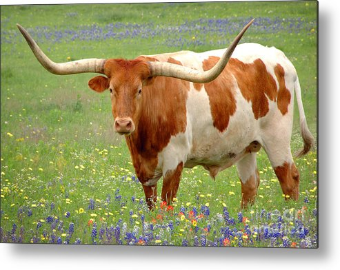Texas Longhorn In Bluebonnets Metal Print featuring the photograph Texas Longhorn Standing In Bluebonnets by Jon Holiday