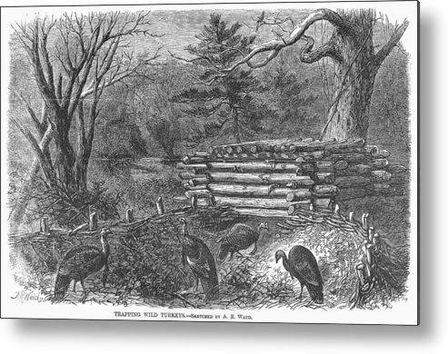 1868 Metal Print featuring the photograph Trapping Wild Turkeys, 1868 by Granger