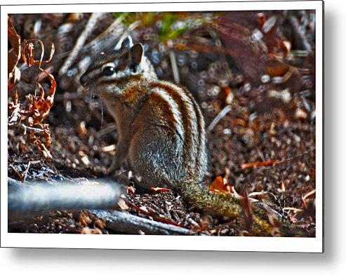 Rodent Metal Print featuring the photograph Trenity Chick by Eric Nelson