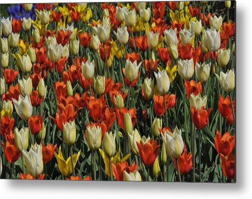 Tulip Metal Print featuring the photograph Tulips 1 by Jennifer Englehardt