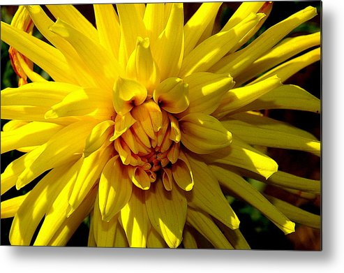 Yellow Daliha Metal Print featuring the photograph Yellow Daliha by Patrick Short
