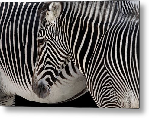Abstract Metal Print featuring the photograph Zebra Head by Carlos Caetano