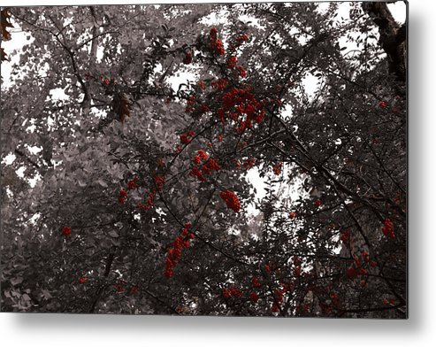 Nature Metal Print featuring the photograph Berry Trees by Bill Ades
