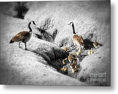 Goose Metal Print featuring the photograph Canada Geese Family by Elena Elisseeva