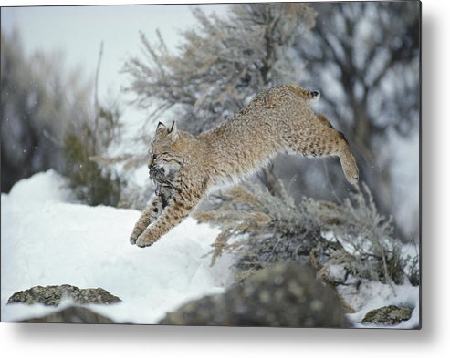 North America Metal Print featuring the photograph A Bobcat Leaps With A Horned Lark by Michael S. Quinton