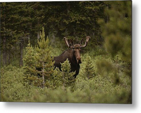 North America Metal Print featuring the photograph A Bull Moose Stops For A Photograph by Raymond Gehman