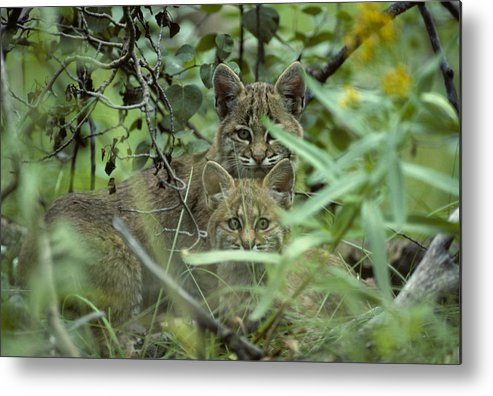 Nobody Metal Print featuring the photograph Young Bobcats by Michael S. Quinton